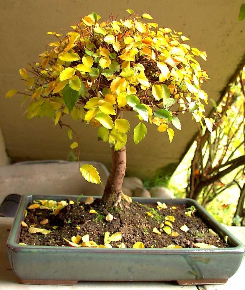 bonsaï perd ses feuil au secours | dozier family