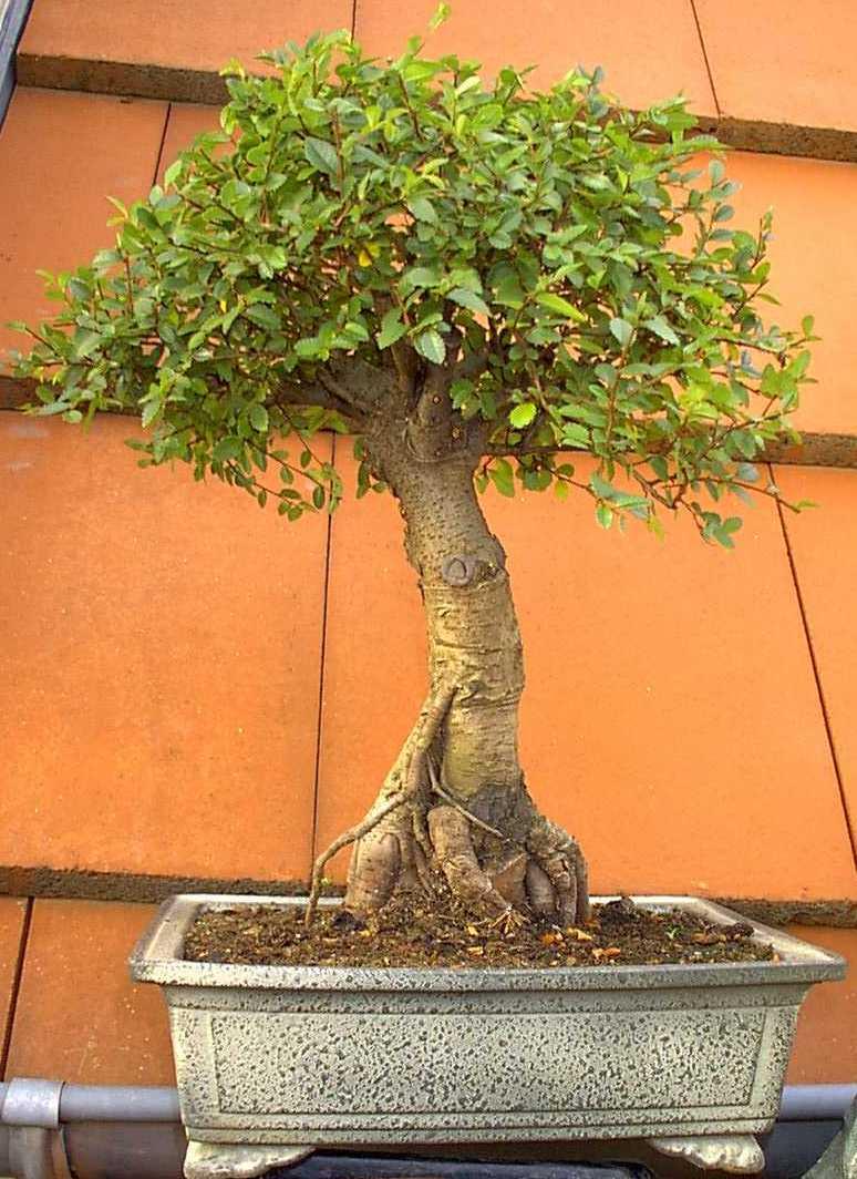 ma collection de bonsaïs